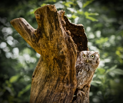 Eastern Screech Owl in Hollow Tree