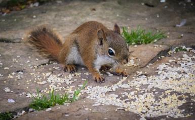 RedSquirrel_20160701_0049