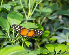 Tigerwing