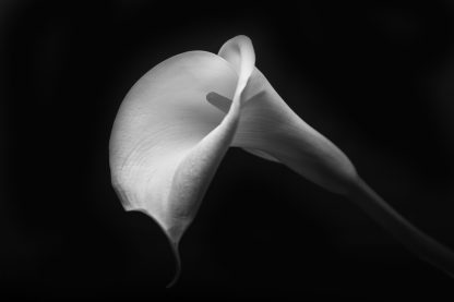 Calla Lilly in Shadow