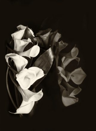Calla Lilly Reflections