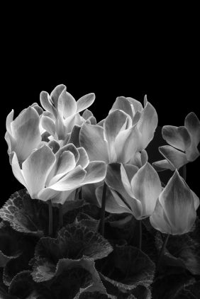 Cyclamen in Black and White