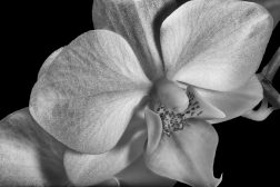 Orchid in Black and White