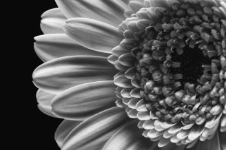Shasta Daisy in Black and White