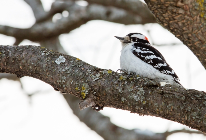 DownyWoodpecker20150213_0019