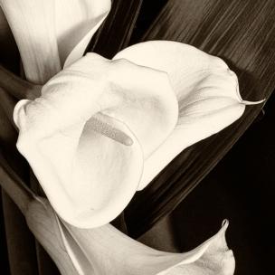 Calla Flower