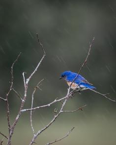 Bluebird_20170627_0098
