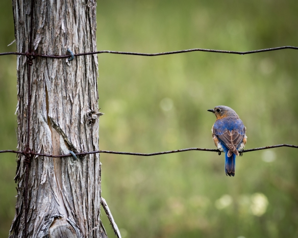 Bluebird on a Wire