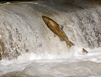 Salmon Run in Bowmanville