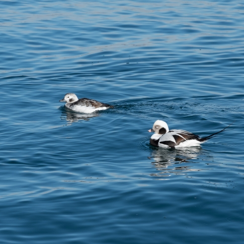 Long Tailed Duck Pair