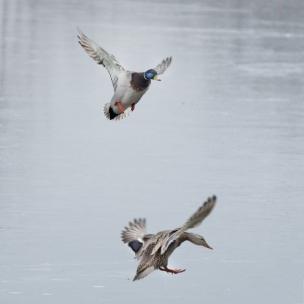 Mallard Pair in Flight