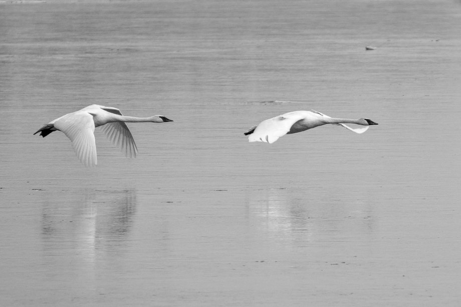 Swans Skimming the Water