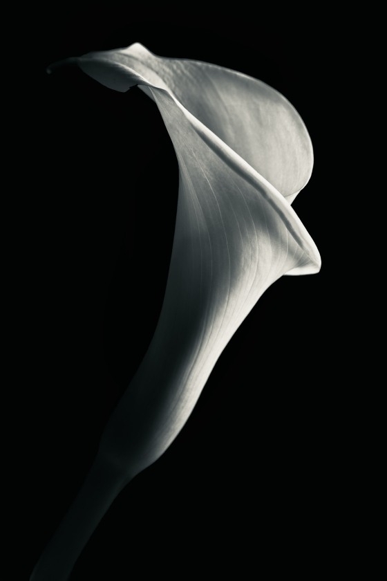 Calla in Light
