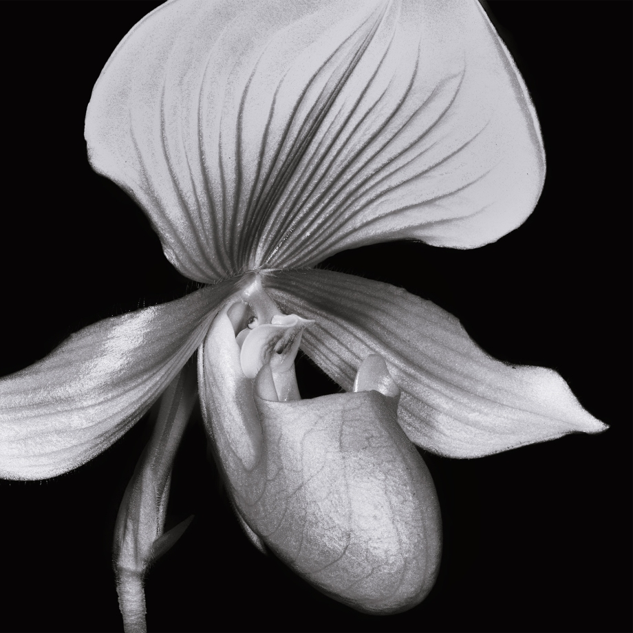 Orchid Intensity
