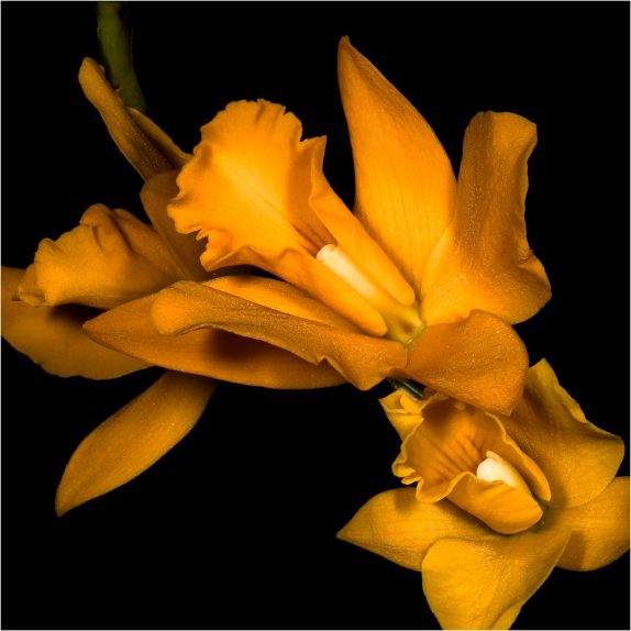 Phaius Orchid