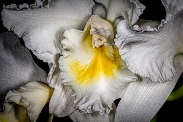 Yellow and White Orchid